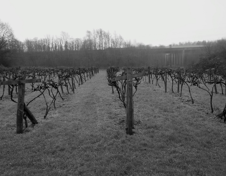 Graves of vines