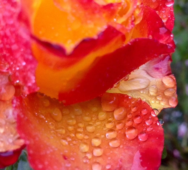 Drops on a rose